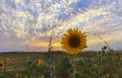 Зрелый солнцецвет на поле на заходе солнца Стоковая Фотография