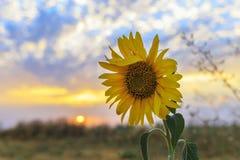 Зрелый солнцецвет на поле на заходе солнца Стоковые Изображения