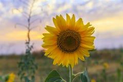 Зрелый солнцецвет на поле на заходе солнца Стоковое Фото