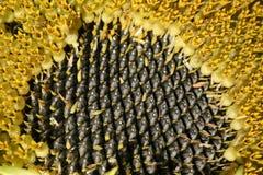зрелый солнцецвет семян Стоковые Фотографии RF