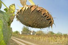 зрелый солнцецвет семян Стоковые Фото