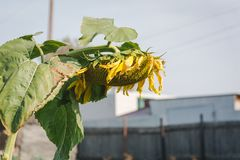 Зрелый солнцецвет Стоковое Изображение RF