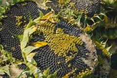 Зрелый солнцецвет Стоковые Изображения