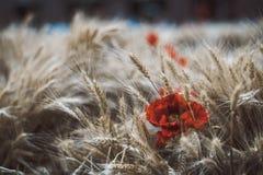 Зрелый урожай пшеницы с цветком мака среди Стоковая Фотография RF