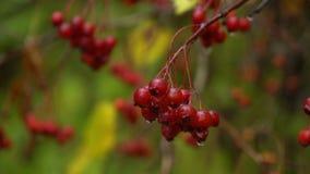 Зрелый rowanberry после холодного дождя осени акции видеоматериалы
