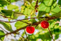 2 зрелых красных вишни среди листьев Стоковые Изображения