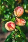 3 зрелых персика весят на ветви дерева Стоковое Фото