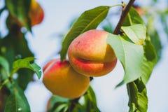 2 зрелых персика весят на ветви дерева Стоковая Фотография