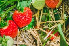 2 зрелых свежих клубники кладя на землю сена Стоковые Фото