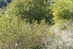 Зреющ в осени, плодоовощи одичалого гранатового дерева в долине гор Черногории Стоковые Фото