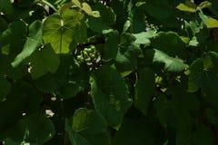 Зрея виноградины с лозы Стоковые Изображения RF