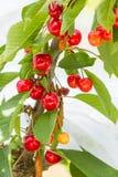 Зрея вишни Бинга Стоковое Изображение
