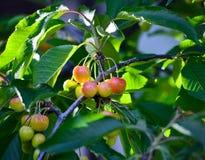 Зрея вишни на дереве tre Стоковые Изображения