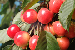 Зрея вишни на дереве Стоковая Фотография RF