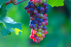 Зрея голубые виноградины вина Стоковое Фото