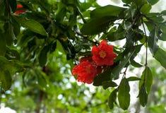 Зрея гранатовое дерево на дереве Стоковые Фотографии RF