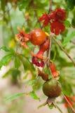 Зрея гранатовое дерево на дереве Стоковая Фотография RF
