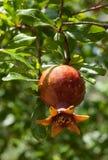 Зрея гранатовое дерево на дереве Стоковые Фото