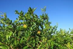 Зрея гранатовое дерево, вениса Стоковые Фотографии RF