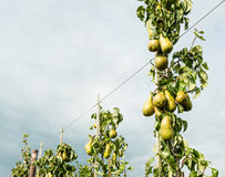 Зрея груши вися на деревьях Стоковая Фотография