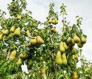 Зрея груши вися на деревьях Стоковое Фото