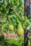Зрея груши конференции на деревьях Стоковые Фото