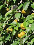 Зрея груши на грушевом дерев дереве Стоковое Изображение RF
