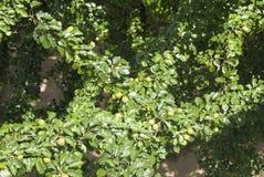 Зрея груши на дереве Стоковое Изображение