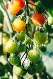Зрея конец-вверх томатов вишни Стоковые Изображения
