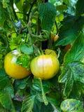 зрея лоза томатов Стоковые Фотографии RF