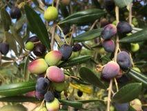 Зрея оливки на дереве стоковое фото rf