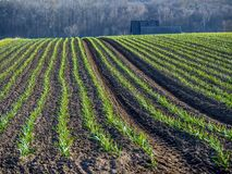 Зрея поле чеснока Стоковая Фотография