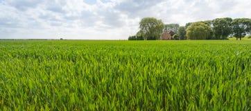 Зрея пшеница в сельском ландшафте Стоковое Изображение RF