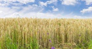 Зрея пшеница на краю поля Стоковое Фото