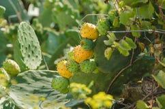 Зрея плодоовощ кактуса Стоковое Изображение RF