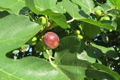 Зрея смоква на дереве Стоковые Фото