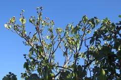 Зрея смоква на дереве Стоковая Фотография RF