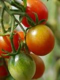 зрея томаты стоковое изображение rf