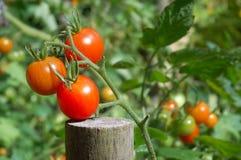 зрея томаты Стоковая Фотография