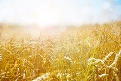 Зрея уши пшеничного поля на предпосылке Стоковые Изображения