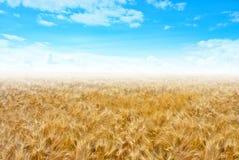 Зрея уши пшеничного поля на предпосылке стоковая фотография rf