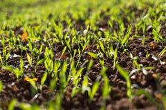 Зрея хлопья зимы, поле зерен зимы выровнялись в сентябре на красивый, солнечный день осени Съемка конца-вверх стоковая фотография rf