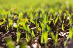 Зрея хлопья зимы, поле зерен зимы выровнялись в сентябре на красивый, солнечный день осени Съемка конца-вверх стоковое фото rf