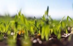 Зрея хлопья зимы, поле зерен зимы выровнялись в сентябре на красивый, солнечный день осени Съемка конца-вверх стоковое фото