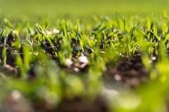 Зрея хлопья зимы, поле зерен зимы выровнялись в сентябре на красивый, солнечный день осени Съемка конца-вверх стоковое изображение rf
