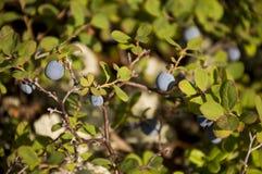Зрелая голубика в зеленом лесе Стоковые Фотографии RF