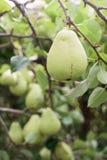 Зрелая груша на ветви Стоковое Фото
