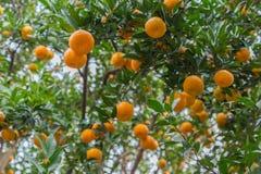Зрелая оранжевая роща Стоковые Изображения RF
