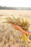 Зрелая пшеница ушей в руках женщины Стоковые Изображения