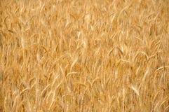 зрелая пшеница стоковое фото